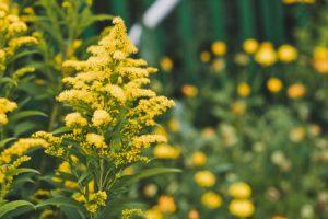 altea in fiore