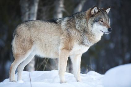 cane deriva dal lupo