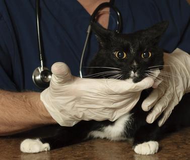 Gatto con infezioni micotiche