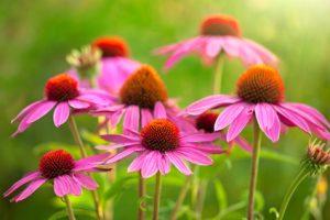 piante di echinacea
