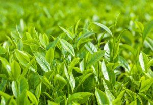piantagione di albero del tè