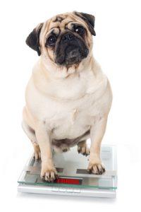 cane in sovrappeso sulla bilancia