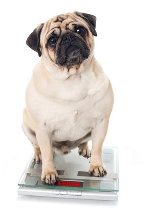 Un'altro cane in sovrappeso