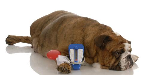 Bulldog inglese che giace accanto al manometro giocattolo con espressione dolente