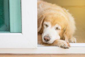 cane anziano che riposa