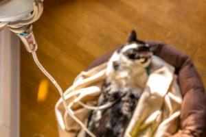 Depura Naturalmente Linsufficienza Renale Nei Gatti E Cani