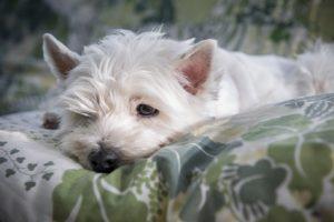 cane letargico sul divano