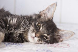 complicazioni della salute nel gatto
