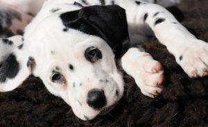 cane con macchie agli occhi