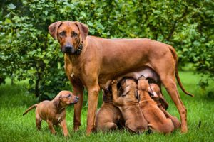 cane che allatta i cuccioli