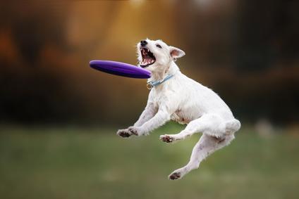 ll cane gioca con frisbee