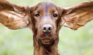 cane orecchie grandi