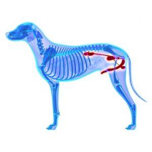 cane anatomia apparato urinario