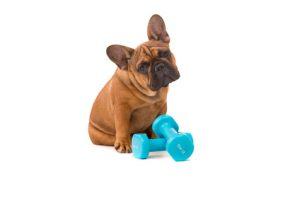 Bulldog francese con i pesi