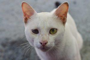 gatto bianco disturbo occhio