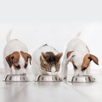 Due cani e un gatto mangiono