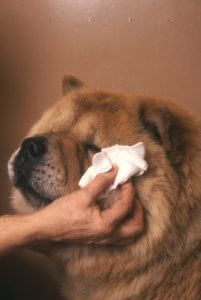 pulizia occhi cane