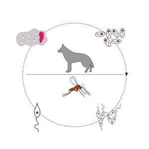 trasmissione della leishmaniosi cane