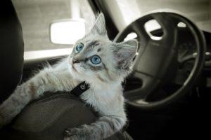 gatto in automobile