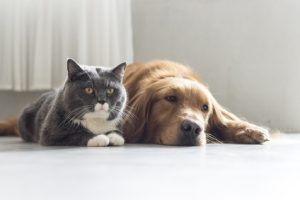 Golden Retriever e British Shorthair che riposano