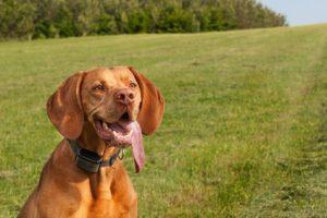 cane con affanno lingua di fuori