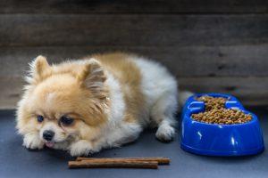 Cane volpino disidratatocon affanno che mangia crocchette