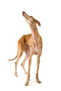 cane magro che rifiuta