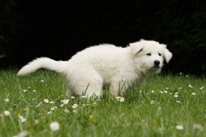 cane con diarrea