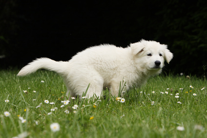 Un cane che fa cacca
