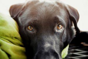cane malato con occhi triste