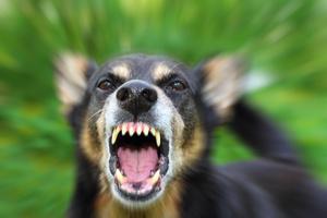 Un cane aggressivo