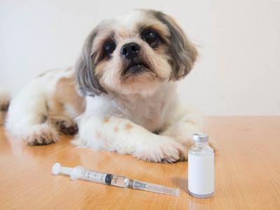 cane pronto per ricevere dose di insulina