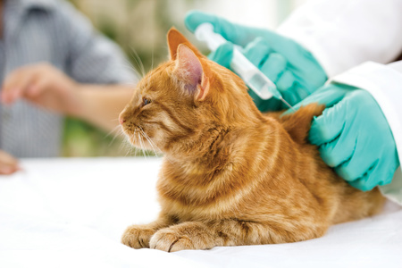 gatto diabetico che riceve dose di insulina