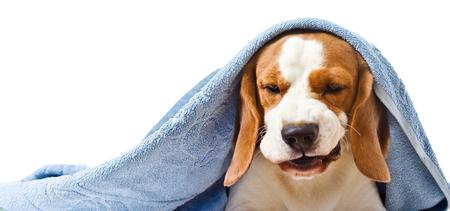 Cane sotto un asciugamano