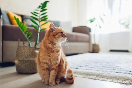 gatto rosso in soggiorno in cerca di compania