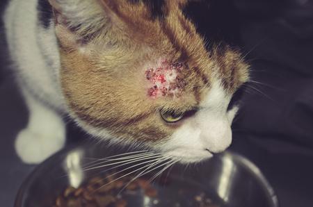 gatto con una piaga un testa