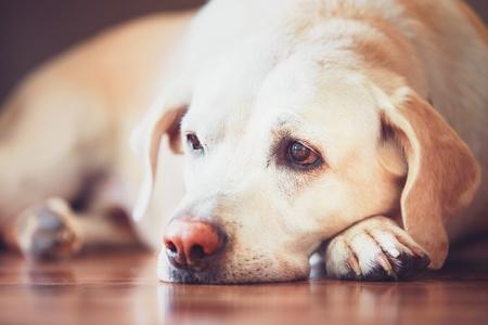 cane triste con iperplasia prostatica