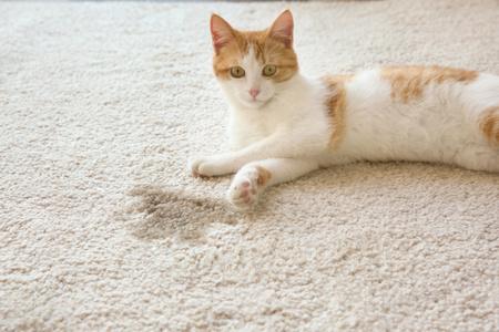gatto fatto pipì sulla moquette