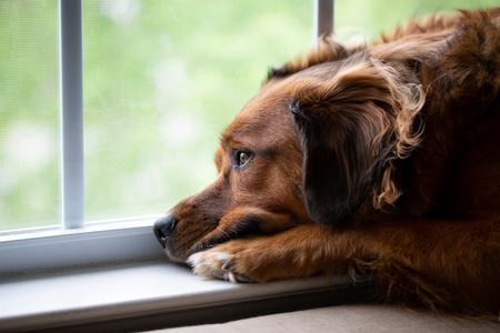cane depresso che guarda dalla finestra