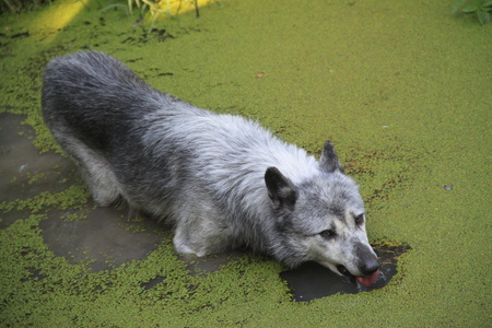 cane che gioca in uno stagno con alghe verdi