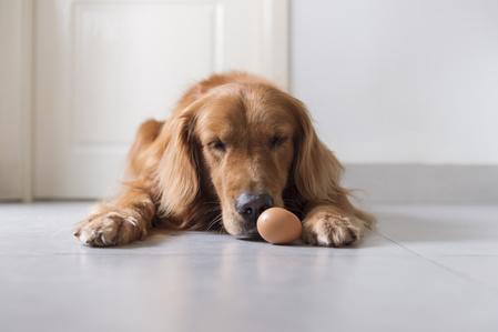 Un cane che guarda un uovo