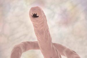 blastocystis hominis ingrandito