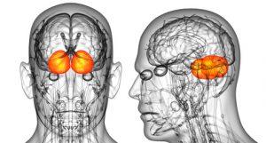 recettori dei cannabinoidi nel cervello