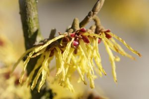 pianta di amamelide