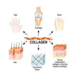 nei tessuti connettivi, cartilagini, ossa, unghie, derma e capelli.