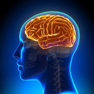 anatomia del cervello umano
