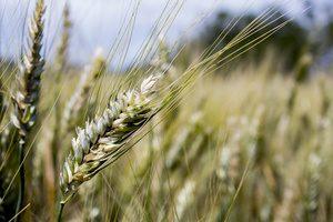 prato di grano geneticamente modificato