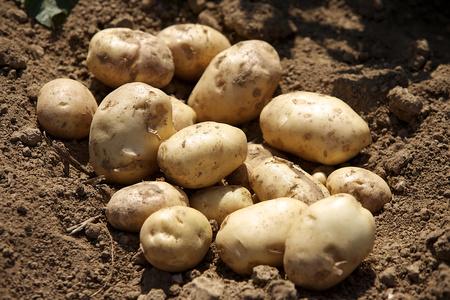le patate crude sono piene di solanina