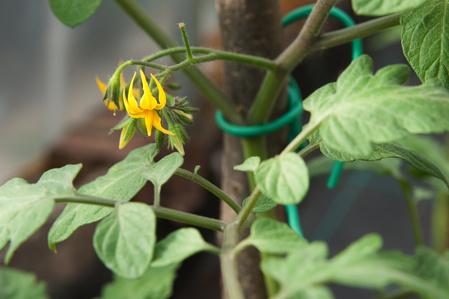 pianta di solanacee in fiore